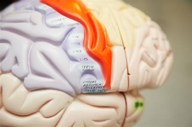 Nærbilde av en modell av en hjerne